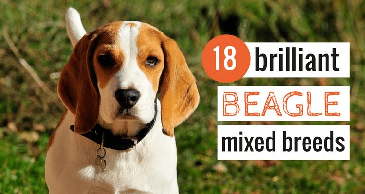 beagle-mixed-breeds