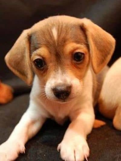 18 Awesome Beagle Mi Hearty Healthy Mixed Breed Hounds