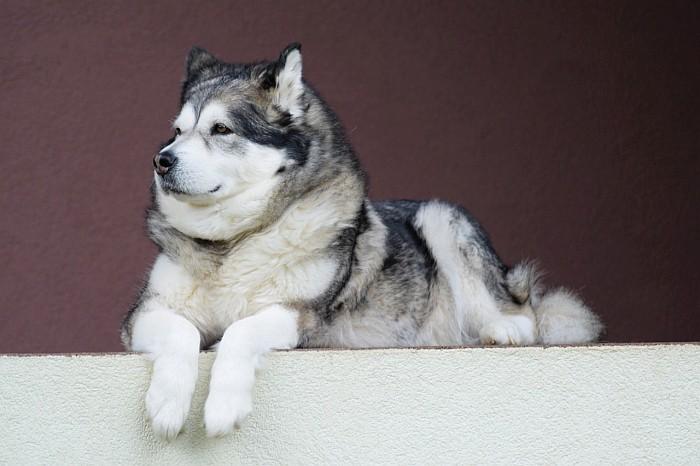 8 Wolf Like Dog Breeds Huskies Wolfdogs And More