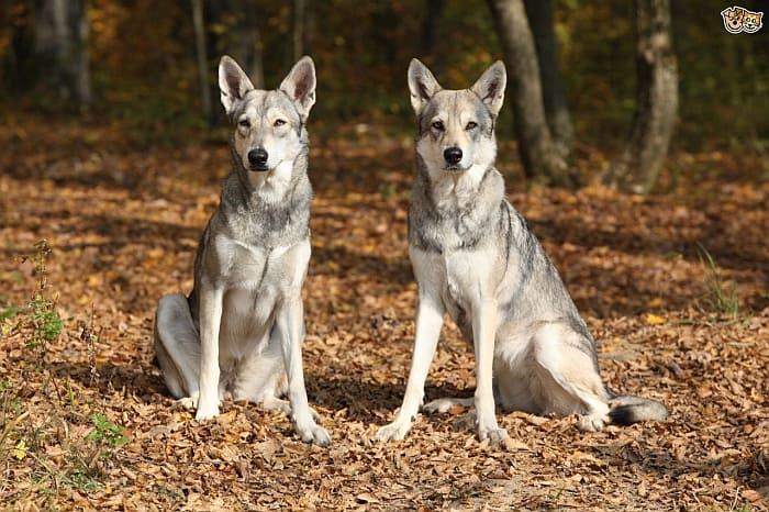 dog resembles wolf