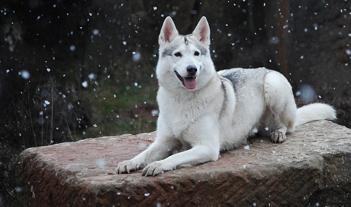 What Breed Of Dog Is Closely Related To The Wolf