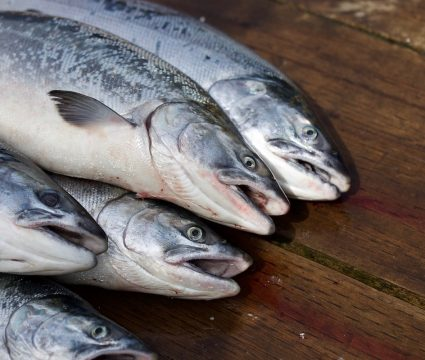 salmon-dog-food