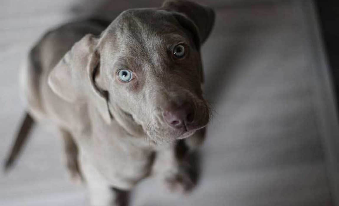 16 Weimaraner Mixes: Grey Ghost Companions Like No Other!