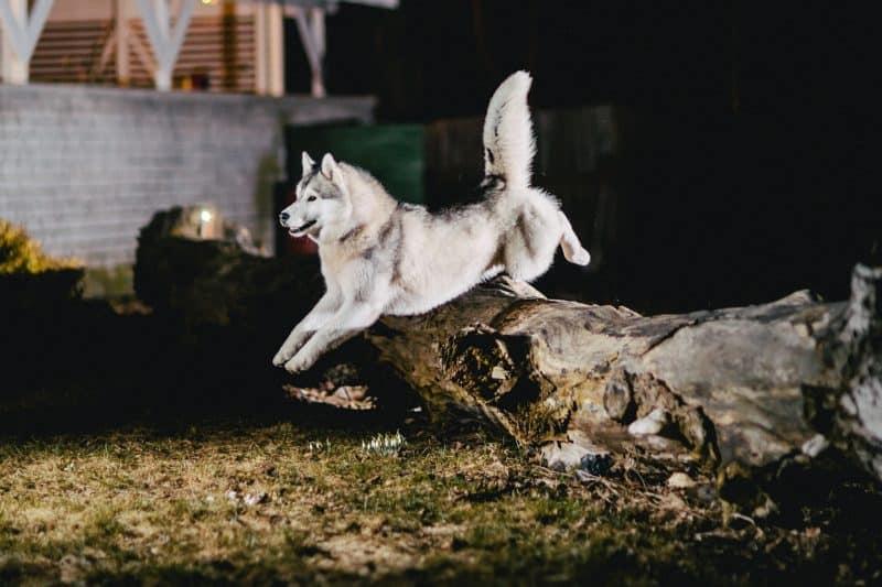 wolf-like breed