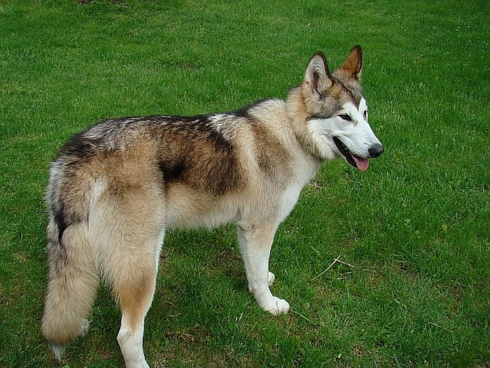 8 Wolf Like Dog Breeds Huskies Wolfdogs And More