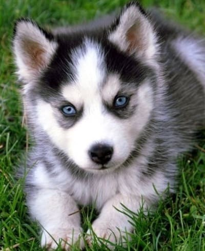 Husky_and_Pomeranian