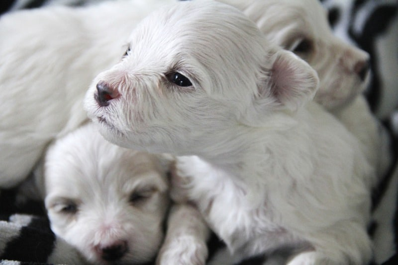 How Many Puppies Can Dogs Have? Litter Size & Influential