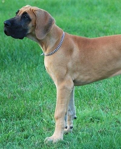great dane american foxhound