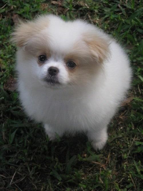 Pomeranian and Japanese Chin 1_1