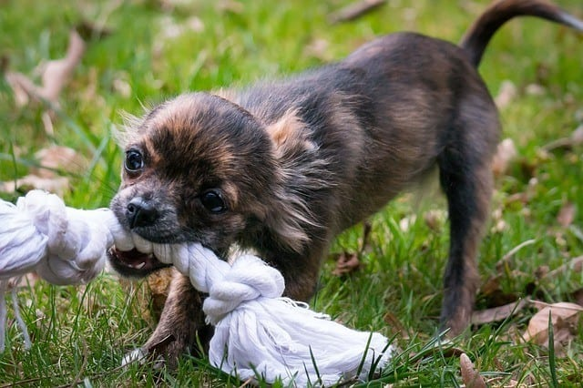 best-chihuahua-dog-toys
