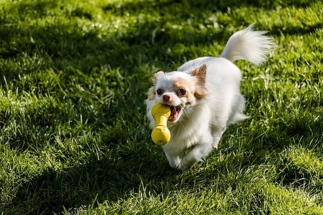 best-toys-for-chihuahuas