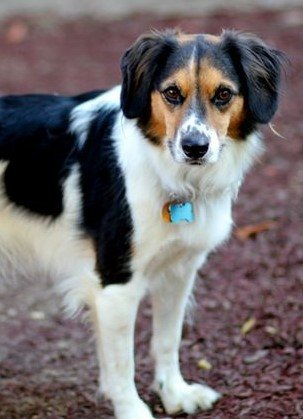 border collie and beagle