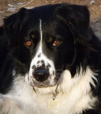 border collie and bernese mountain dog