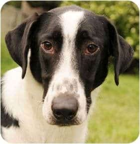 border collie and pointer