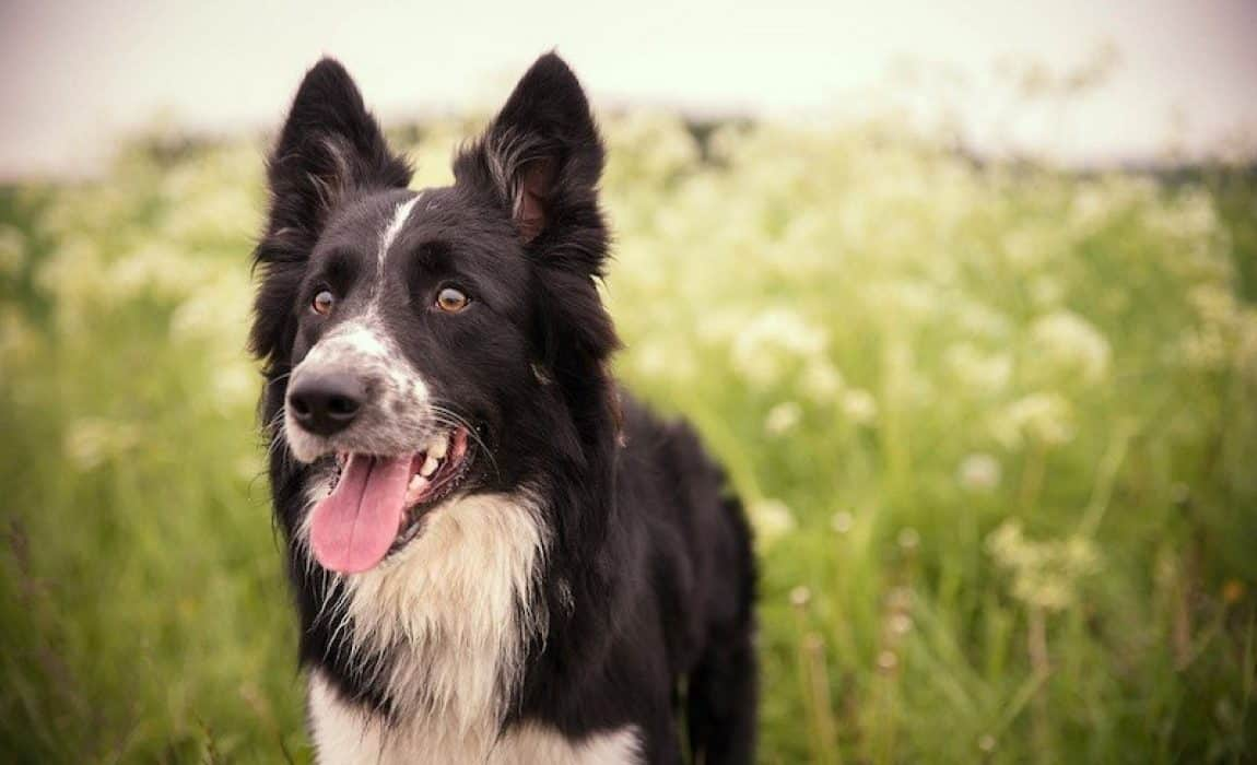 17 Border Collie Mixes Charming Charismatic Collie Combos