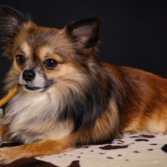 chihuahua-dog-toys