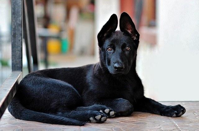 german-shepherd-black