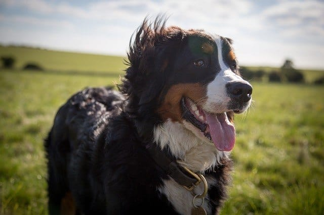 large-dog-st-bernard