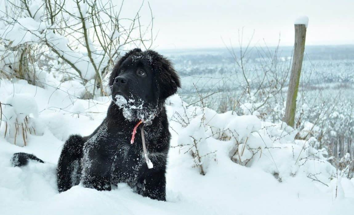 15 Newfoundland Mixes Breeds Enormous Newfies To Nuzzle You