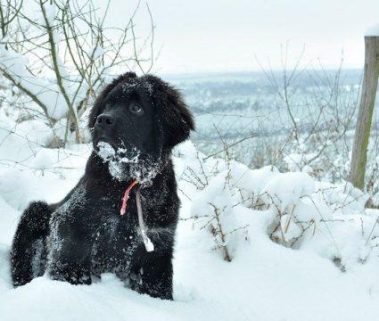 newfoundland-puppy