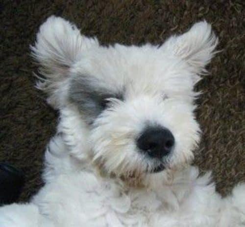 old english sheepdog and husky