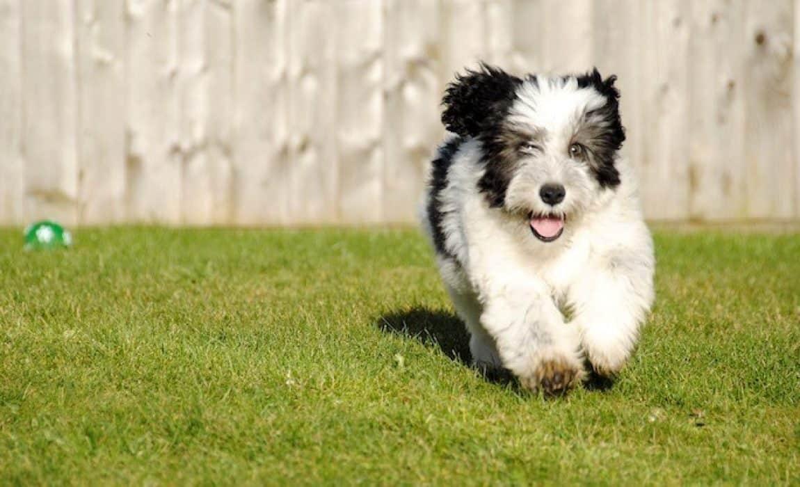 Old English Sheepdog Mixed Breeds: Best Shaggy Buddies!