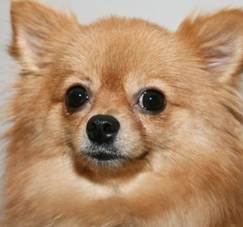 16 Pomeranian Mixes All Different Kinds Of Pomi Perfection