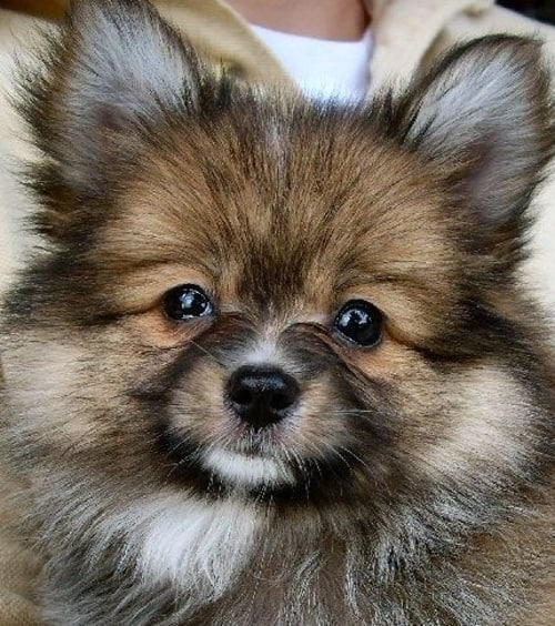 pomeranian papillon 16 pomeranian mixes all different kinds of pomi perfection 8516