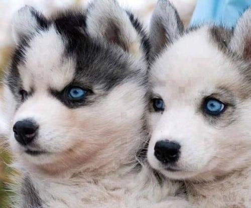 pomeranian and husky