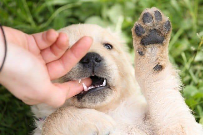 puppy-play-biting-hand