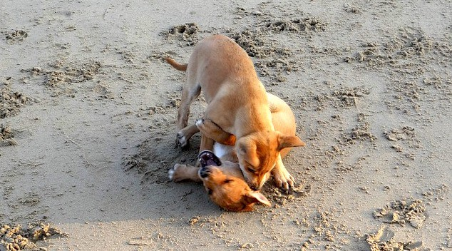 pups-playing-and-biting
