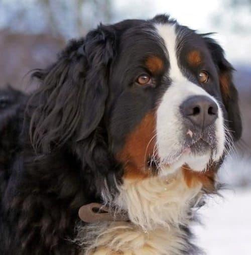st bernard and burnese mountain dog