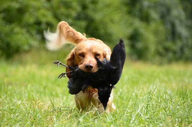 Image of: Pointing Upland Bird Dogs Pheasants Forever 10 Best Bird Hunting Dogs Perfect Pooches For Different Quarry