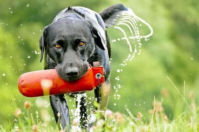 wetland-hunting-dogs