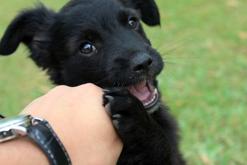 why-puppies-play-bite