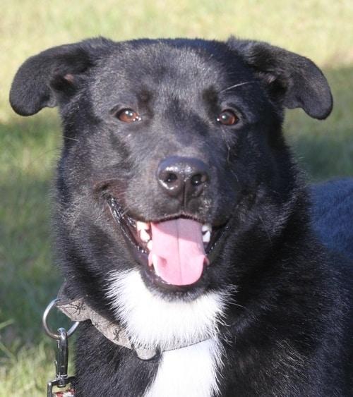 33 Labrador Mixed Breeds Lovable Lab Mixes With Lifelong Loyalty