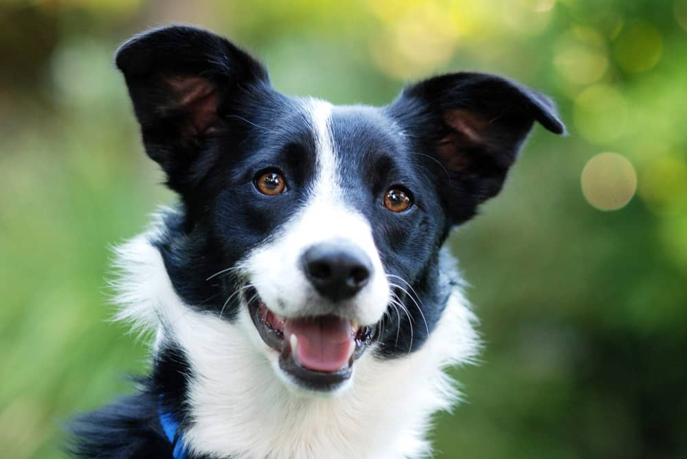 collie border dog dogs breed popular breeds names most brown such why common disease treat cats pet pets4homes conditions health