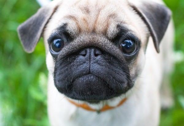 cute-pug-puppy