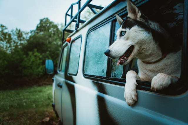 dog chilling in car