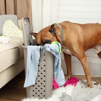 dog chewing socks