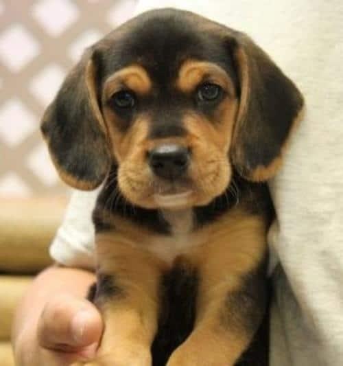 lab and beagle