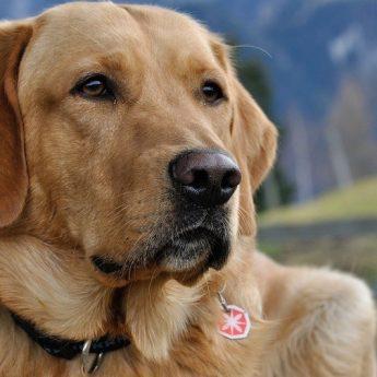 labrador-mixed-breeds