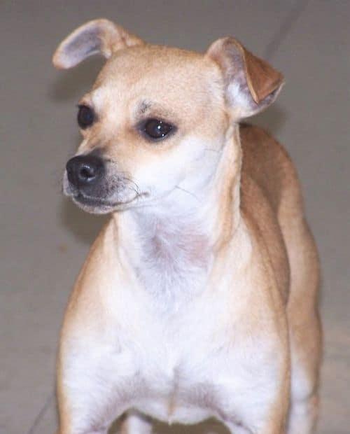 Greyhound and Chihuahua