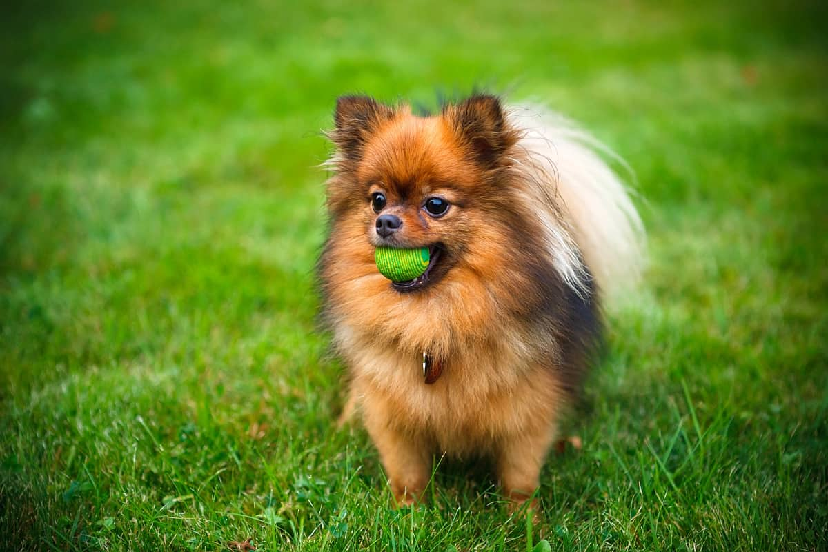 How Much Do Pomeranians Cost Factors That Influence Price