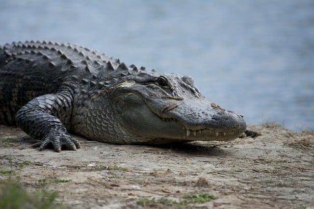 alligator dog food