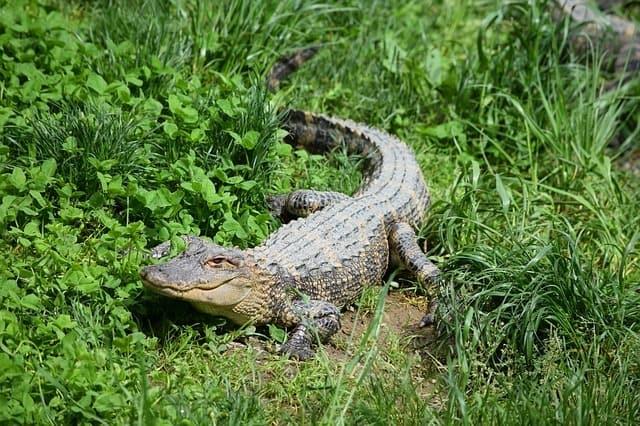 gator food