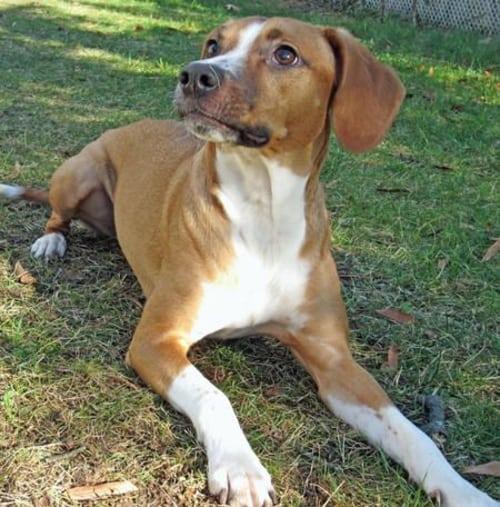 greyhound and beagle