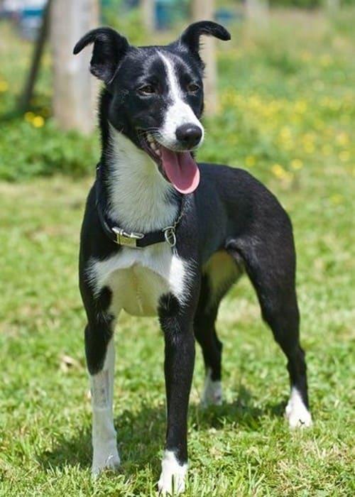 greyhound and border collie