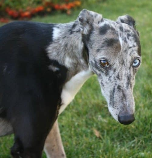 greyhound and whippet