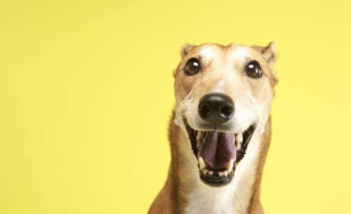 greyhound mixes